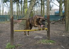 Dog jumping over a fence stock images