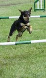 Dog jumping over hurdle. In supadog agility show stock image
