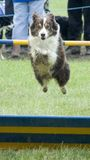 Dog jumping over hurdle. In supadog agility show royalty free stock images