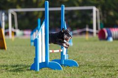 Dog jumping over hurdle in agility competition stock photography