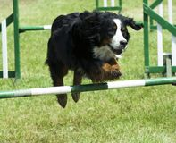 Dog jumping over obstacle. At Supadog agility show, Beltring Hop farm, May 26th to June 1st stock images