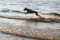 Dog jumping over the waves Stock Photos