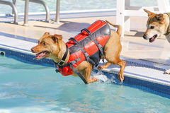 Dog jumping into the pool in a vest Stock Photo