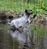 Dog jumping in the river Royalty Free Stock Photo