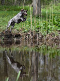 Dog jumping in the river Royalty Free Stock Photography