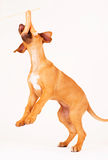 Dog jumping for sausage royalty free stock photos