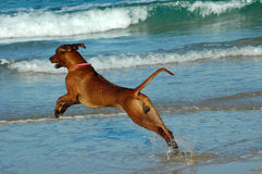 Dog jumping into sea Stock Photography