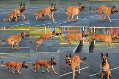 Dog jumping sequence. Nine picture collage showing how a dog jumps Stock Images