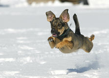 Dog jumping on snow royalty free stock image
