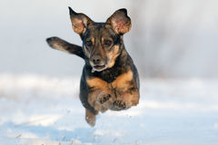 Dog jumping in snow. White background Royalty Free Stock Photos