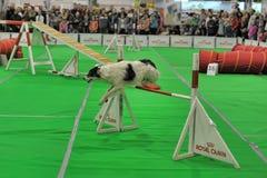 Dog jumping Stock Photos