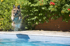 Dog jumping into the swimming in the pool Stock Photo