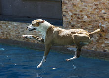 Dog jumping into a swimming pool Royalty Free Stock Photography