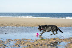 Dog jumping to fetch ball. Black labrador dog jumping to fetch a ball on the beach Royalty Free Stock Image