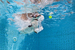 Dog jumping to retrieve a ball in swimming pool. Playful jack russell terrier puppy in swimming pool has fun - dog jump and dive underwater to retrieve ball Royalty Free Stock Photography