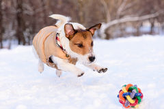 Dog jumping on a toy. Jack Russell Terrier Playing on snow Royalty Free Stock Photo
