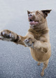 Dog jumping for treat Royalty Free Stock Image