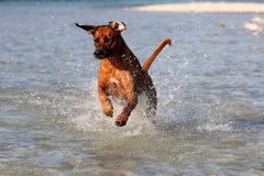 Dog Jumping in water stock photography
