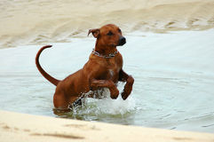 Dog jumping in water Royalty Free Stock Photos