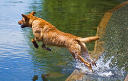 Dog Jumping into Water. Yellow lab mix jumps into water to retrieve a ball. Happy water dog at dog park on a sunny summer day Royalty Free Stock Photos