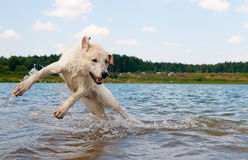 Dog jumping in the water royalty free stock photography