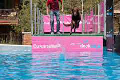 Dog jumping in water. Vail, Colorado, USA - June 3rd 2011 - The Teva Mountain Games Royalty Free Stock Photography