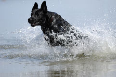 Dog jumping in water. Black dog is jumping in the water royalty free stock photos
