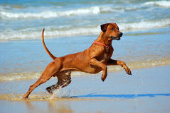Dog jumping water Royalty Free Stock Image