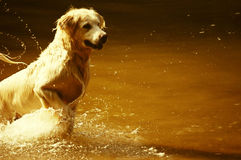 Dog jumping in water Royalty Free Stock Image