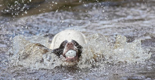 Dog jumping in water Royalty Free Stock Photo
