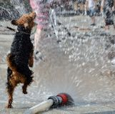 Dog jumping in water Royalty Free Stock Images
