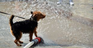 Dog jumping in water Stock Images