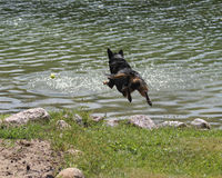 Dog jumping into water in mid air Stock Images