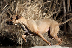 Black Mouth Cur Dog Jumping Into Water Stock Photography