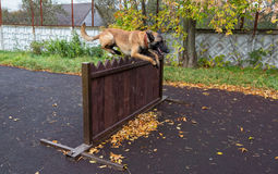 Dog jumps through a barrier Stock Images