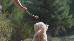 Dog jumps and bites the stick. Dog plays with a branch. Slowmotion: West highland white terrier. Unknown girl playing with a dog. A dog of medium size. dog owner stock video footage