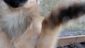 Dog jumps on camera stock video footage