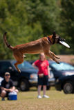 Dog Jumps And Catches Frisbee In Mouth Royalty Free Stock Images
