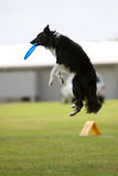 Dog Jumps And Catches Frisbee In Mouth Royalty Free Stock Photo