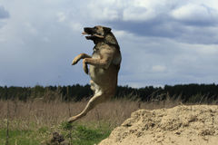 Dog Jumps and Catches the Stick. Big dog freeze in a jump cathcing the stick at nature Stock Photo