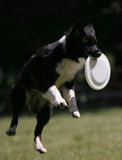 Dog jumps for frisbee. Disc Royalty Free Stock Image