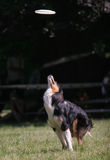 Dog jumps for frisbee disc Stock Images