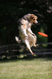 Dog jumps for frisbee disc. Dog prepare to jump for frisbee disc Royalty Free Stock Photos