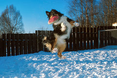 Dog jumps high for a frisbee Royalty Free Stock Photos