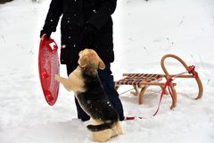 The girl is playing with the dog in the snow and gives him a kiss. The dog jumps for joy at the girl and licks her face royalty free stock photography