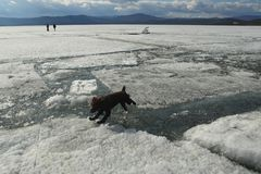The dog jumps from the lions to the ice during the ice drift on the lake royalty free stock image