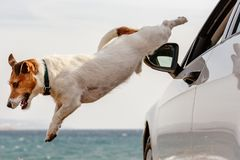 Dog jumps out of car window hurrying to beach and sea water. Jack Russell Terrier flying down in perfect jump royalty free stock images