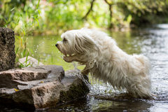 Dog jumps out of the water Stock Photography
