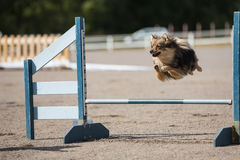 Dog jumps over an agility hurdle Royalty Free Stock Image