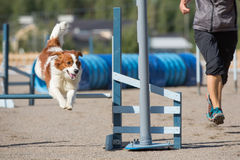 Dog jumps over an agility hurdle Stock Photo